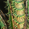 21009-79011 Sulawesi rattan (Plectocomia muelleri) closeup of spines. Rattans are vine-like palms which scramble through and over other rainforest vegetation.The spines act as hooks to aid climbing, and to deter browsing mammals. Most (70%) of the world's rattan comes from Indonesia, especially from Borneo, Sulawesi, and the Sumbawa Islands. Dumoga Bone National Park, North Sulawesi *