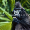 21002-41101 Tomini black-crested macaque (Macaca nigrescens) male. One of seven distinctive species of macaque endemic to Sulawesi - all of which are thought to have evolved from a single ancestral population. This species is limited to the central section of the northern peninsula. It was once considered a subspecies of M. nigra, and it is believed to hybridize with M. nigra where their ranges overlap to the western end. Bogani Nani Wartabone National Park, North Sulawesi.