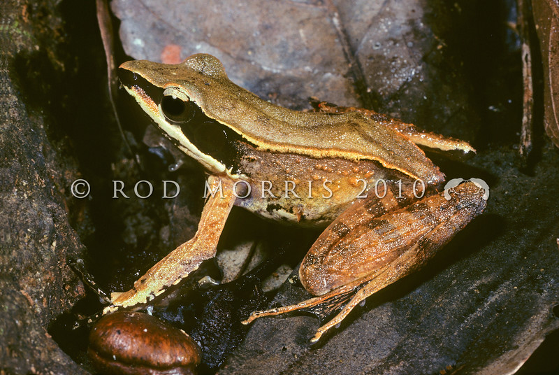 21003-01019 Celebes Frog (Papurana celebensis) adult male on forest floor. A widespread endemic frog of lowland areas, found in freshwater swamps, permanent ponds, and slow-flowing waterways in lowland habitats throughout Sulawesi. Tangkoko Reserve, North Sulawesi *
