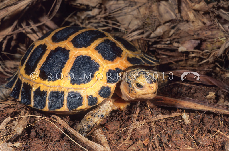 21003-16502 Forsten's tortoise (Indotestudo forstenii) juvenile. Among Sulawesi's many rare forest-dwelling endemics, this is one of the least known chelonians in the world. It's small range (central and northern parts of Sulawesi, and the nearby islands such as Halmahera), coupled with extreme poaching pressure from the exotic pet trade, makes it a candidate for extinction. It is one of only three species in the genus Indotestudo, and is related to another forest-dweller from the mountains of the Western Ghats in southwest India. Palu, Central Sulawesi *