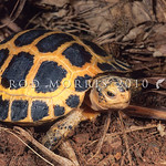 21003-16502 Forsten's tortoise (Indotestudo forstenii) among Sulawesi's many rare endemics is one of the least known chelonians in the world. It's small range, coupled with extreme pressure  ...