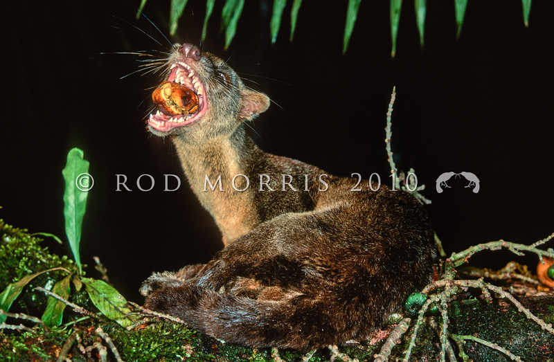 21002-49004 Sulawesi palm civet, or Musang Raksasa Sulawesi (Macrogalidia musschenbroeckii) eating palm fruit on a fallen fig trunk. The largest predatory mammal in Sulawesi's forests, and the only endemic carnivore, it is one of the least known mammals in the world. Mamu Village, near Kulawi, Central Sulawesi *