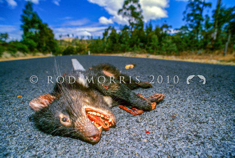 21002-06603  Tasmanian devil (Sarcophilus harrisii) killed at night while scavenging road kill. Port Arthur  *