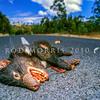 21002-06603  Tasmanian devil (Sarcophilus harrisii) killed at night while scavenging road kill