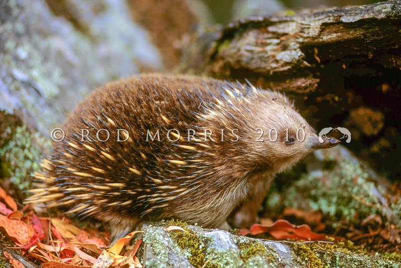 12002-01109  Short-beaked echidna (Tachyglossus aculeatus) length and density of fur varies geographically throughout Australia. In Tasmanian individuals dense fur almost obscures the spines