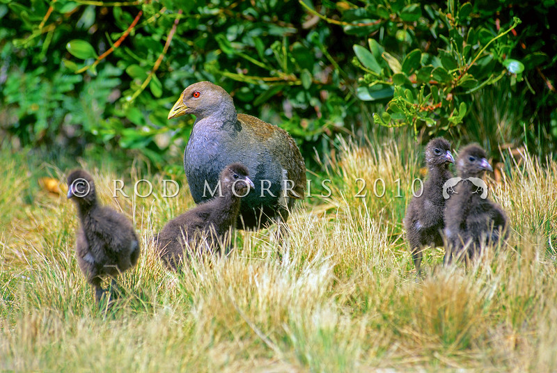 12001-31001  Tasmanian native-hen (Gallinula mortierii) flightless rail endemic to Tasmania, seen here guarding four large downy chicks *