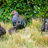 12001-31001  Tasmanian native-hen (Gallinula mortierii) flightless rail endemic to Tasmania, seen here guarding four large downy chicks *