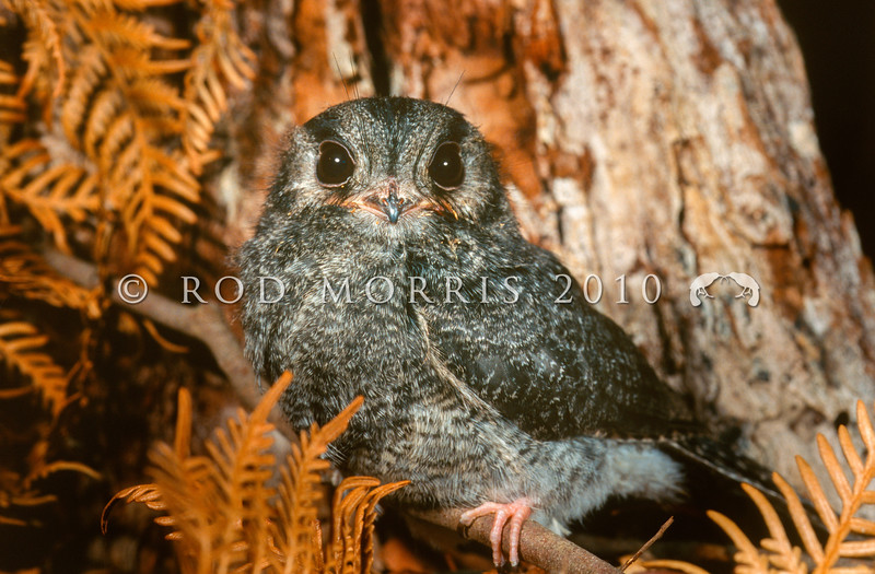 12001-66401 Owlet nightjar (Aegotheles cristatus) a 'grey phase' juvenile from Mole Creek, Tasmania *
