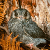 12001-66401 Owlet nightjar (Aegotheles cristatus) a 'grey phase' juvenile from Mole Creek, Tasmania