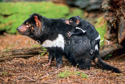 21002-07022  Tasmanian devil (Sarcophilus harrisii) largest of all living marsupial carnivores and resembling a small dog. Female carrying young in characteristic manner