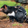 21002-07022  Tasmanian devil (Sarcophilus harrisii) largest of all living marsupial carnivores and resembling a small dog. Female carrying young in characteristic manner *