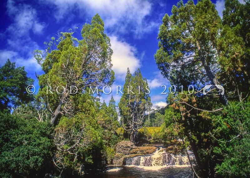 12009-07004 Pencil pine (Athrotaxis cupressoides) view of trees surrounding 'Pencil Pine Falls'. Cradle Mountain, Tasmania *