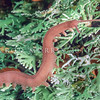 12005-11513 Giant peripatus (Tasmanipatus barretti) adult of this beautiful viviparous Tasmanian species in lichen.Females can reach 75mm in length when fully extended. This  is Tasmania's largest velvet worm.