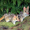 21002-03218  Eastern quoll (Dasyurus viverrinus) or eastern native cat. Pair emerging with larger male on right