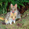 21002-03105  Eastern quoll (Dasyurus viverrinus) or eastern native cat. Pair emerging with male at rear