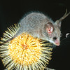 12002-28617 Little pygmy-possum (Cercartetus lepidus) juvenile on flowering Banksia at night. Mole Creek, Tasmania *