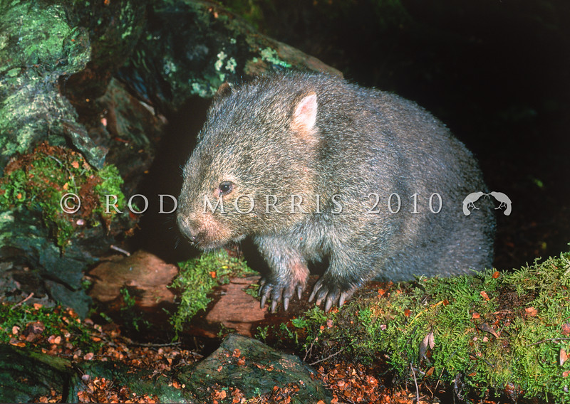 12002-20318 Common wombat (Vombatus ursinus) adult leaving den under fallen beech tree. Cradle Mountain, Tasmania *