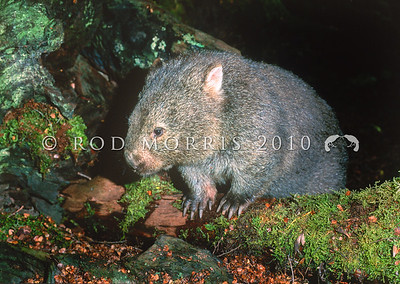 12002-20318 Common wombat (Vombatus ursinus) adult leaving den under fallen beech tree. Cradle Mountain, Tasmania