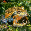 """21003-00104 Eastern Banjo Frog (Limnodynastes dumerilii dumerilii) a large-mouthed, voracious, burrowing Australian frog, sometimes called the 'pobblebonk' after its distinctive """"bonk"""" call, which sounds like a banjo string being plucked. Healesville Sanctuary, Melbourne *"""