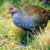 12001-31008  Tasmanian native-hen (Gallinula mortierii) a flightless rail endemic to Tasmania. Still relatively common in wetlands and grasslands *