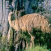 12001-00302 Emu (Dromaius novaehollandiae) Adult female in shrubland. Wilsons Promontory, Victoria *