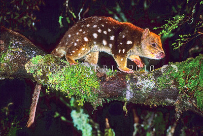 21002-02101  Spotted-tailed quoll (Dasyurus maculatus) or tiger cat, a solitary carnivorous marsupial, still widespread in Tasmania, particularly in wet schlerophyll forests