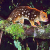 21002-02101  Spotted-tailed quoll (Dasyurus maculatus) or tiger cat, a solitary carnivorous marsupial, still widespread in Tasmania, particularly in wet schlerophyll forests *