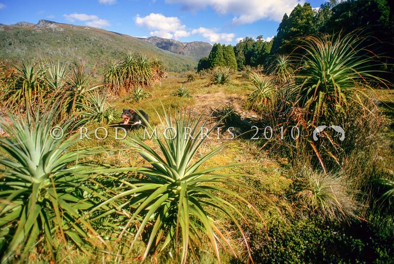 21002-06703  Tasmanian devil (Sarcophilus harrisii) amongst pandani in Cradle Mountain National Park *