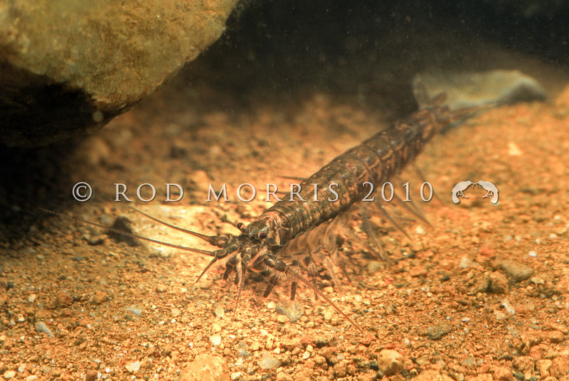 12005-12001 Tasmanian mountain shrimp (Anaspides tasmaniae) a small freshwater mountain shrimp which essentially has remained unchanged for 250 million years (Triassic Period); it is a living fossil. Devil's Gullet, Western Tiers *