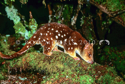 21002-02111  Spotted-tailed quoll (Dasyurus maculatus) or tiger cat. A carnivorous marsupial now sparse in Australia. While widespread in Tasmania, it is threatened by logging of schlerophyll forests