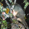 12002-22108 Common ringtail possum (Pseudocheirus peregrinus viverrinus) male in beech forest at night. Cradle Mountain, Tasmania *