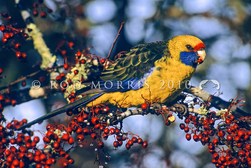12001-60004  Green rosella (Platycercus caledonicus) this is the largest of all the Rosellas, endemic to Tasmania and Bass Strait Islands. Seen here feeding on introduced hawthorn berries in a hedgerow in autumn, at Mole Creek, Tasmania *