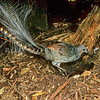 12001-98905  Superb lyrebird (Menura novaehollandiae novaehollandiae) this bird is essentially a 'terrestrial bird of paradise'. The male's filamentous tail is specialised for display. South-eastern form from Sherbrooke Forest, Dandenong Ranges, Victoria, Australia *
