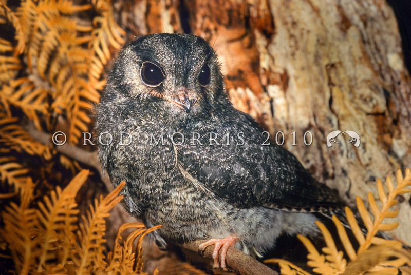 12001-66402 Owlet nightjar (Aegotheles cristatus) a 'grey phase' juvenile from Mole Creek, Tasmania *