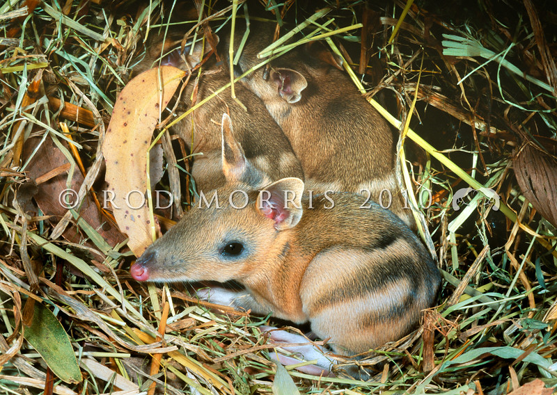 12002-15809 Eastern barred bandicoot (Perameles gunnii) young in grass nest. Mole Creek, Tasmania *