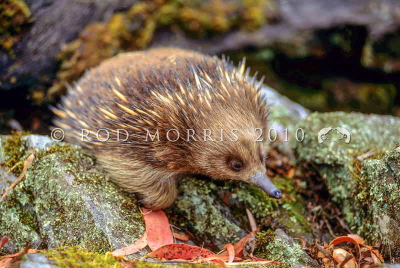 12002-01106 Short-beaked echidna (Tachyglossus aculeatus) fur varies from a dark brown to straw-coloured, and is dense and often conceals the spines in Tasmanian echidnas compared with those of mainland Australia *