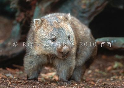 12002-20303 Common wombat (Vombatus ursinus) adult leaving den under fallen beech tree. Cradle Mountain, Tasmania