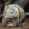 12002-20303 Common wombat (Vombatus ursinus) adult leaving den under fallen beech tree. Cradle Mountain, Tasmania *