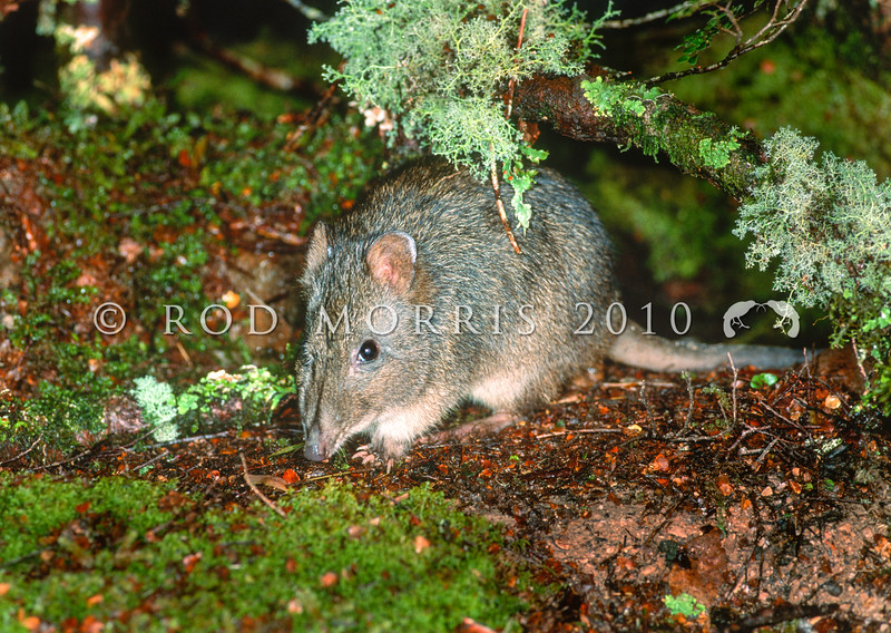 12002-30320 Long-nosed potoroo (Potorous tridactylus apicalis) male in beech forest at night. Cradle Mountain, Tasmania *