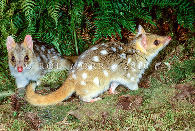 21002-03101  Eastern quoll (Dasyurus viverrinus) or eastern native cat. Pair emerging with male in background