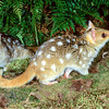 21002-03101  Eastern quoll (Dasyurus viverrinus) or eastern native cat. Pair emerging with male in background *