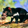 21002-06817  Tasmanian devil (Sarcophilus harrisii) young female with fresh carrion. Devils are the largest of all living marsupial carnivores, and resemble small dogs *