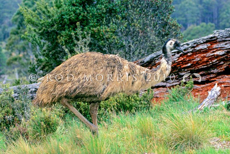 12001-00310 Emu (Dromaius novaehollandiae) Adult female wandering through shrubland in southern Victoria *