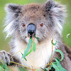 12002-17302 Southern koala (Phascolarctos cinereus victor) young female eating eucalyptus leaves. Wilson's Promontory, Victoria. Southern koalas are larger than those further north, such as in Queensland. Southern koala have thicker, fluffier, darker brownish fur and have most likely evolved, because the winters in the south are colder than in the north *