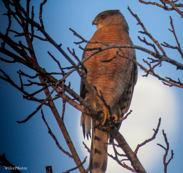 Cooper's Hawk by Dawn Moon