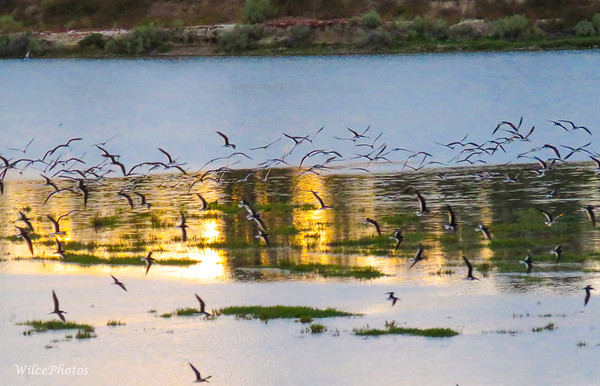 Black Skimmers At Dusk