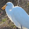 The Great (Egret) Hunter