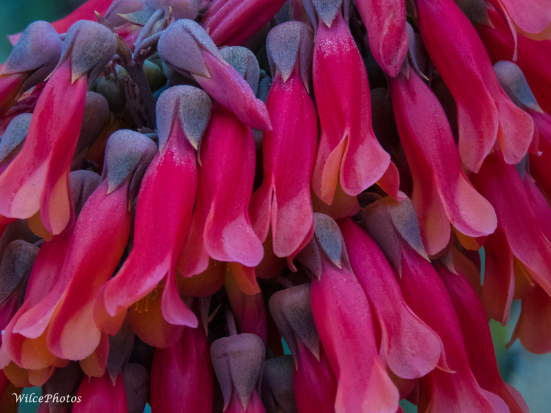 Succulent(?) Flowers