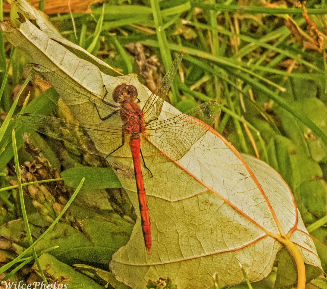 Dragonfly: Flame Skimmer?