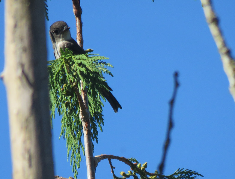 Flycatcher (Olive-sided?)